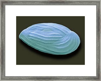 Miliolid Foraminiferan Framed Print by Steve Gschmeissner