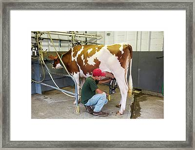 Milking A Cow Framed Print by Jim West