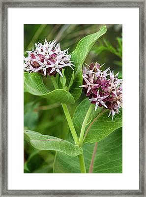 Milkweed Flowering Near Mott, North Framed Print by Chuck Haney