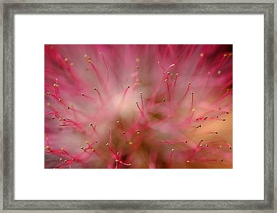 Mimosa Fireworks Framed Print by Michael Eingle