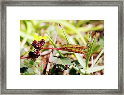 Mimosa Pudica Flower Buds Framed Print by Michael Szoenyi