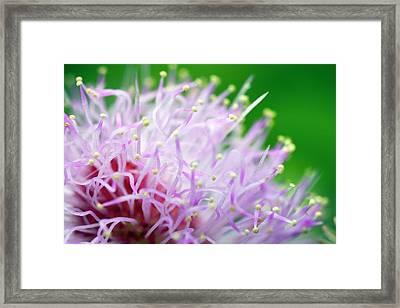 Mimosa Pudica Flower Framed Print by Olivier Vandeginste