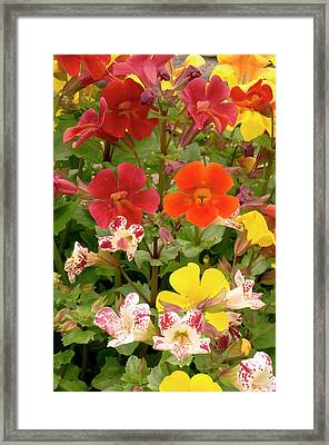 Mimulus Sp. Flowers Framed Print by Adrian Thomas
