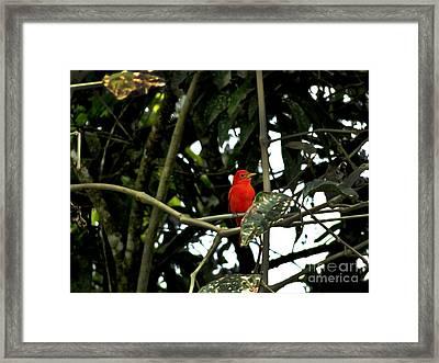 Mindo Vermilion Flycatcher Framed Print by Al Bourassa