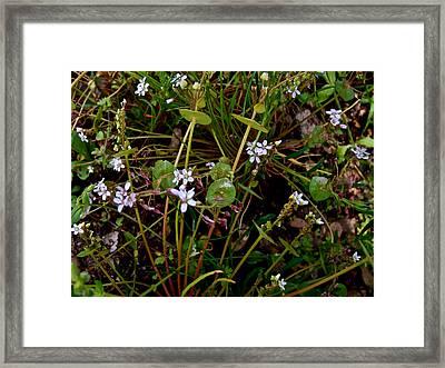 Miner's Lettuce In Park Sierra-ca Framed Print by Ruth Hager