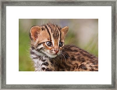 Miniature Leopard Framed Print by Ashley Vincent