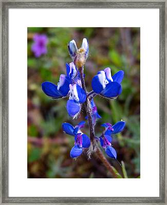 Miniature Lupine In Park Sierra-ca Framed Print by Ruth Hager