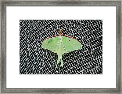 Mint Green Luna Moth Framed Print by Andee Design