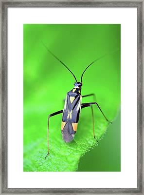 Mirid Bug On Nettle Leaf Framed Print by Colin Varndell