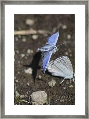 Mission Blue Butterflies Framed Print by Mrsroadrunner Photography