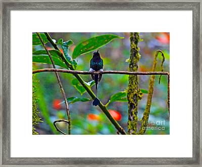 Mister Santa Pants II   Mindo Hummingbird Framed Print by Al Bourassa