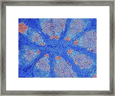 Mistletoe Stem Framed Print by Alfred Pasieka