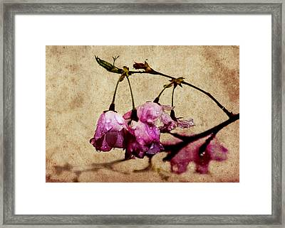 Misty Cherry Blossoms Framed Print by Jon Woodhams