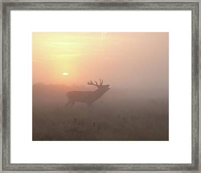 Misty Morning Stag Framed Print by Greg Morgan