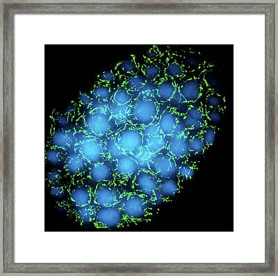 Mitochondria And Nuclei Framed Print by Dr Paul Andrews, University Of Dundee