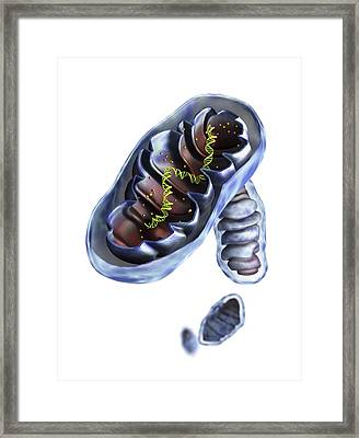 Mitochondrial Structure, Artwork Framed Print by Science Photo Library