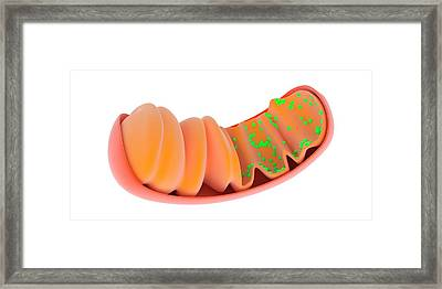 Mitochondrion Framed Print by Science Photo Library