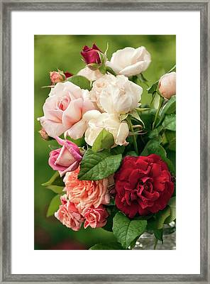 Mixed Bouquet Of Roses (rosa Hybrid) Framed Print by Maria Mosolova