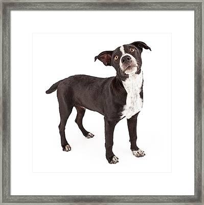 Mixed Breed Black Puppy  Framed Print by Susan  Schmitz