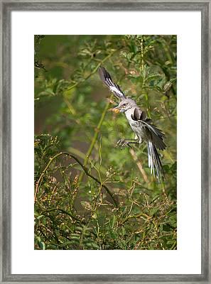 Mockingbird Framed Print by Bill Wakeley
