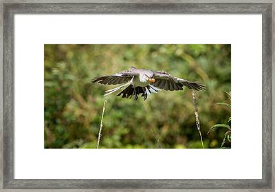 Mockingbird In Flight Framed Print by Bill Wakeley