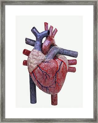 Model Of A Human Heart Framed Print by Dorling Kindersley/uig