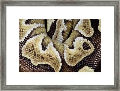 Mojave Royal Python Framed Print by Nigel Downer