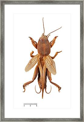 Mole Cricket Framed Print by Natural History Museum, London