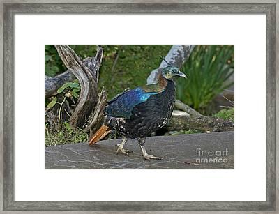 Monal Pheasant Framed Print by Anthony Mercieca