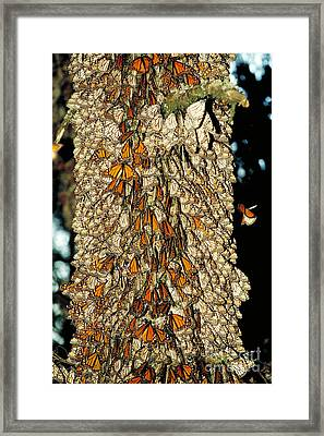 Monarch Butterflies Framed Print by Gregory G. Dimijian