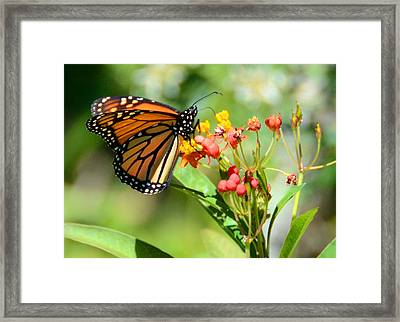 Monarch Butterfly 3 Framed Print by Julie Cameron