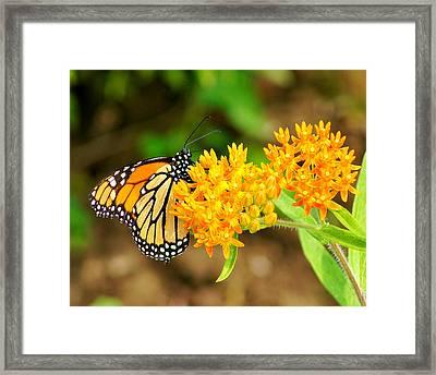 Monarch Butterfly Framed Print by Carol Toepke