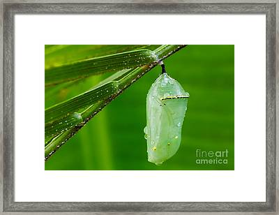 Monarch Butterfly Chrysalis Framed Print by Dawna  Moore Photography
