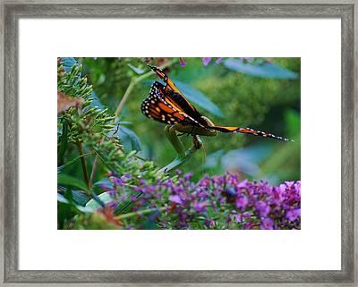 Monarch Butterfly Down Framed Print by Joy Bradley
