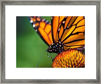 Monarch Butterfly Headshot Framed Print by Bob Orsillo
