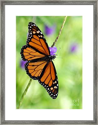 Monarch Butterfly In Spring Framed Print by Sabrina L Ryan