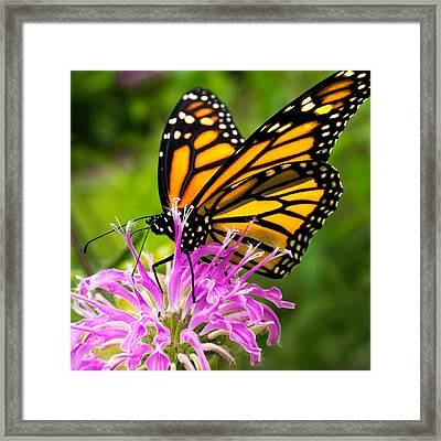 Monarch Butterfly On Bee Balm Framed Print by Jim Hughes