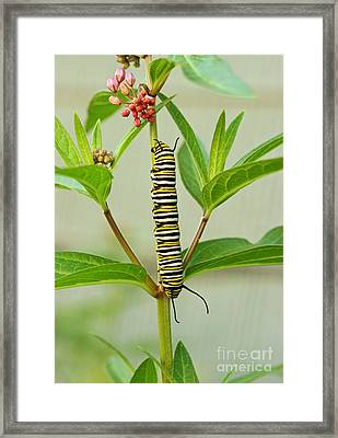Monarch Caterpillar And Milkweed Framed Print by Steve Augustin