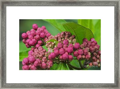 Monarch Egg Framed Print by Steve Augustin