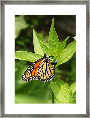 Monarch Egg Time Framed Print by Steve Augustin