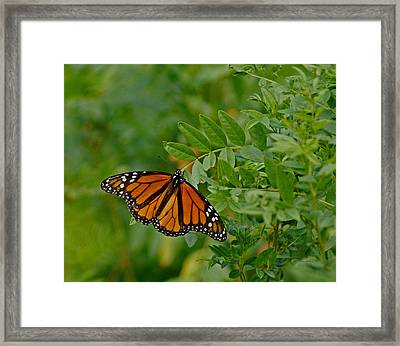 Monarch Framed Print by Ernie Echols