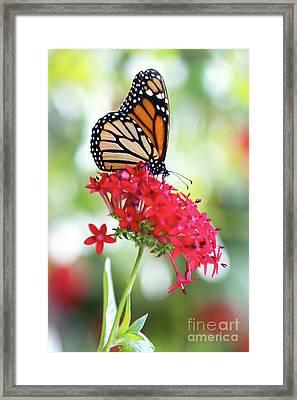 Monarch V Framed Print by Pamela Gail Torres