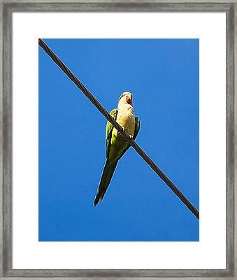 Monk Parakeet Framed Print by Rich Leighton
