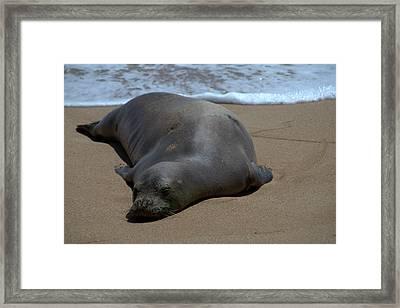 Monk Seal Sunning Framed Print by Brian Harig