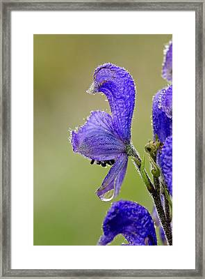 Monkshood (aconitum Napellus Vulgare) Framed Print by Bob Gibbons