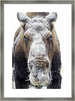 Moose Alces Alces Face Covered Framed Print by Mark Newman