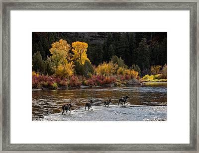 Moose Crossing Framed Print by Leland D Howard