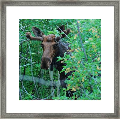 Moose In The Campsite Framed Print by Bob ODean