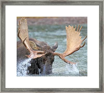 Moose Splash Framed Print by Adam Jewell