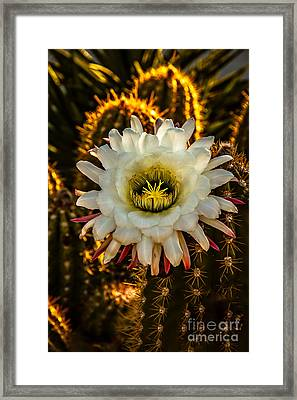 Morning Blooming Cactus Framed Print by Robert Bales